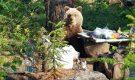 Медведь из Норильска отбирает еду у местных жителей